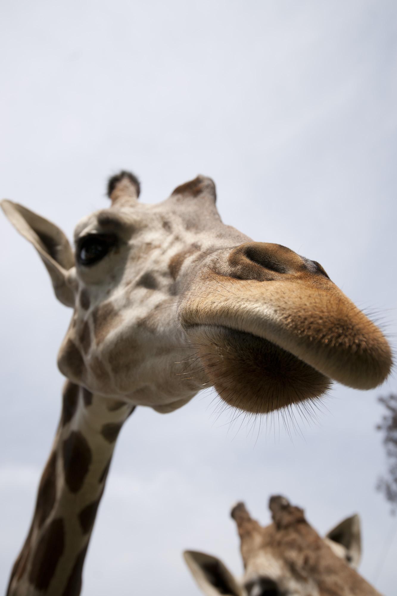 Disfruta a las jirafas en zoofari