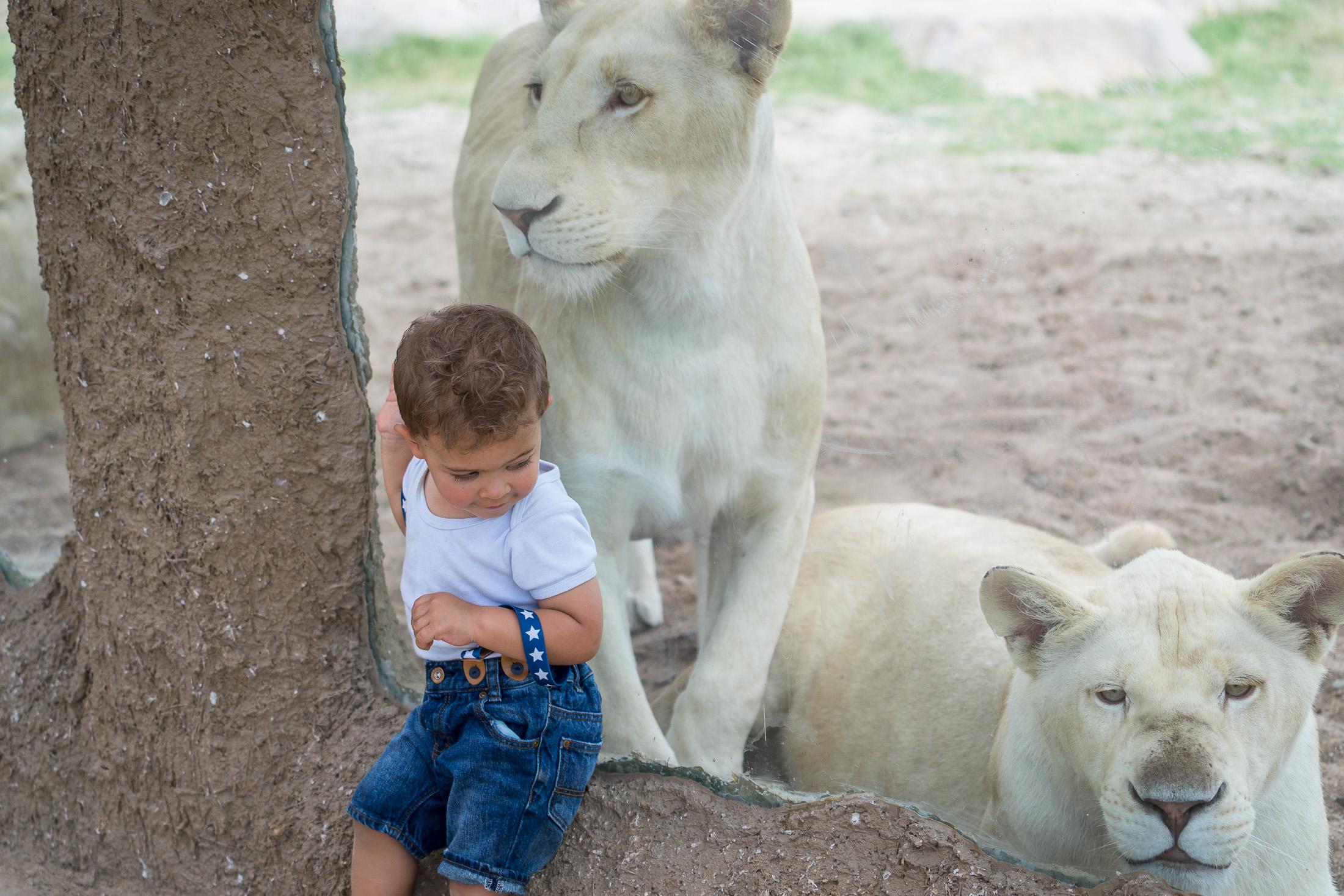 Ama a los leones en zoofari