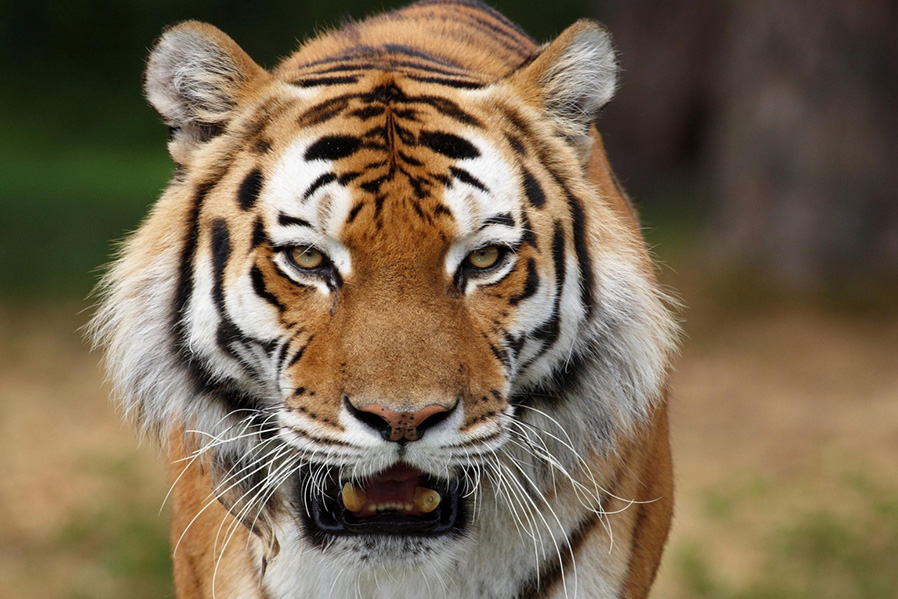 Tigres comen cerca de 6 kg de carne.