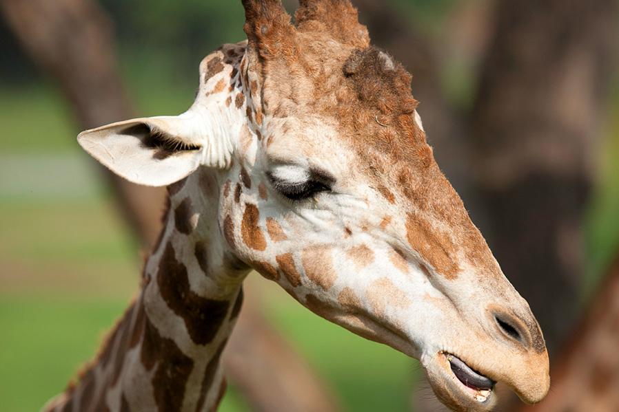 Desde varios años protegemos a 4 jirafas