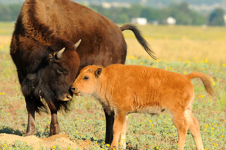 En Zoofari cuidamos la vida de 14 bisontes