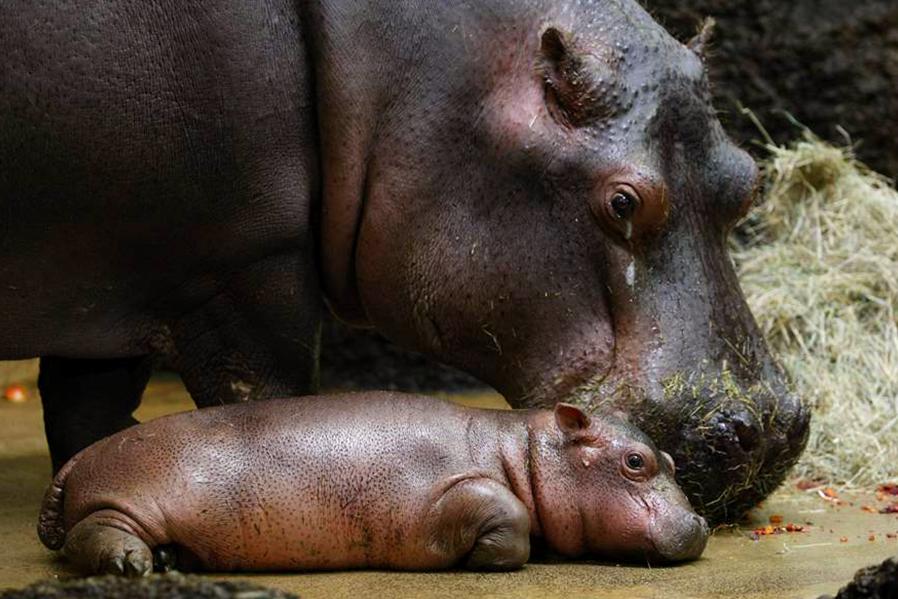 En Zoofari protegemos a 3 hipopótamos.