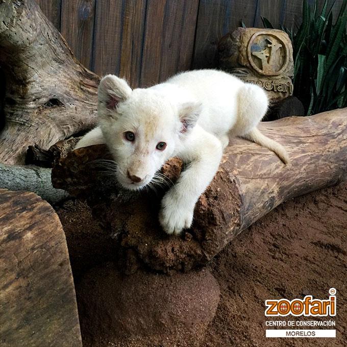 La belleza de un tigre en Zoofari