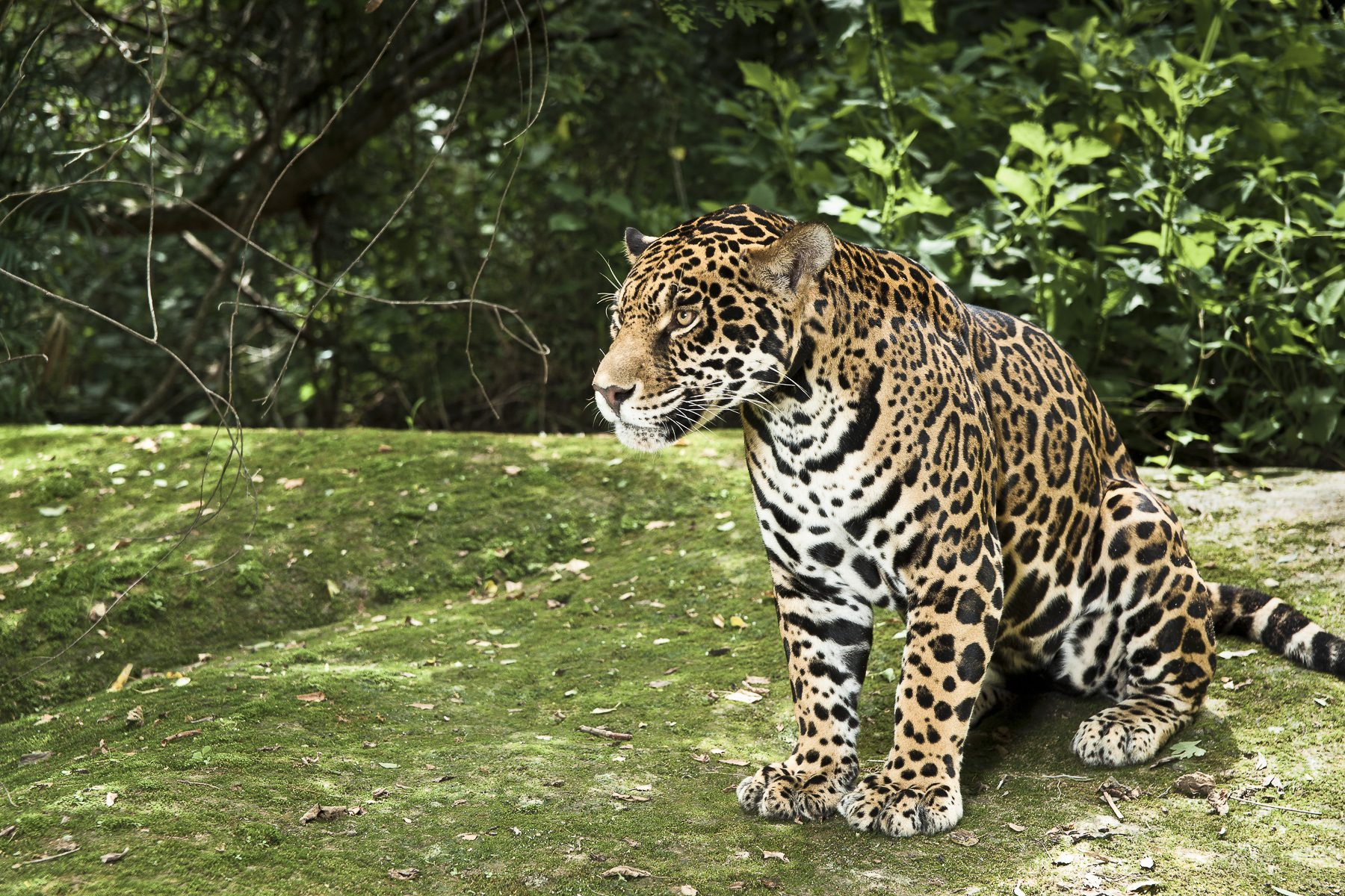La bellleza del jaguar en zoofari