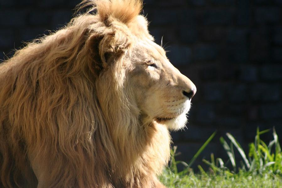 Los leones pueden pasar hasta 20 horas durmiendo.