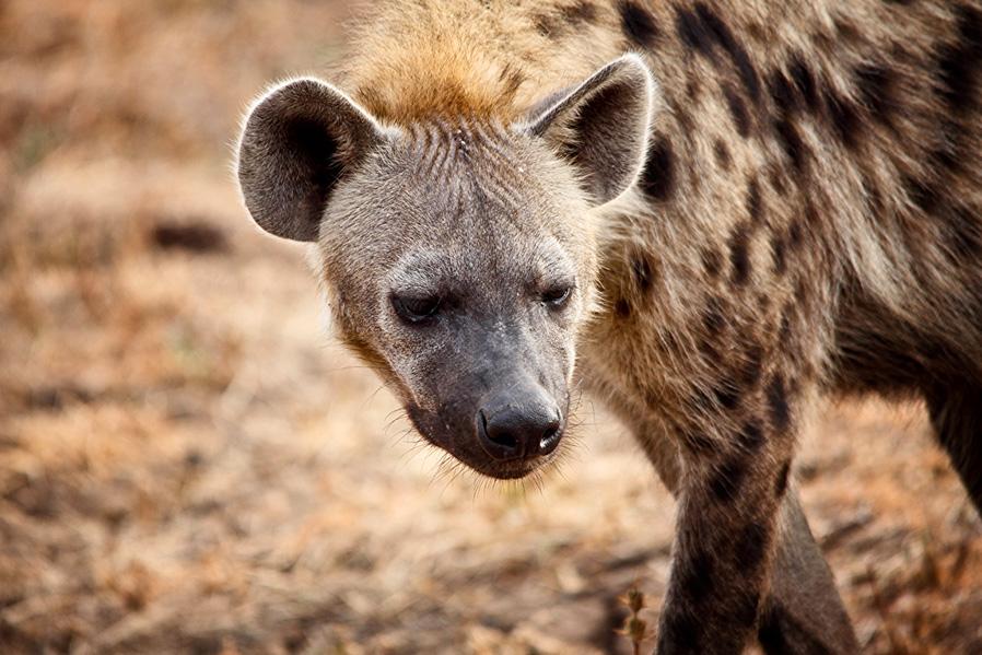 Las hienas comen cerca de 4 kg de carne.