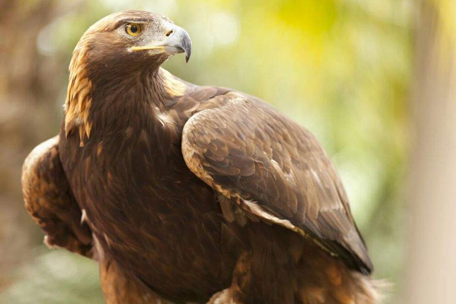 Participamos en un programa de conservación y reproducción del águila real.