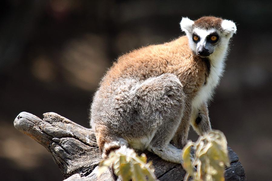 especies que hemos reproducido son: lémures, tortugas, venados, entre otros