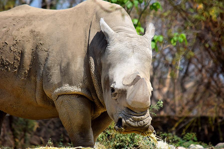 Hace 30 años cuidamos y protegemos a nuestro rinoceronte blanco.