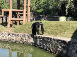 Vida de chimpancé en Zoofari