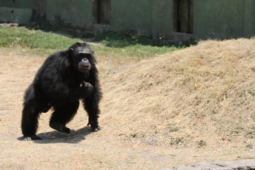 El mundo animal en acción: esta es la vida de los chimpancés en Zoofari