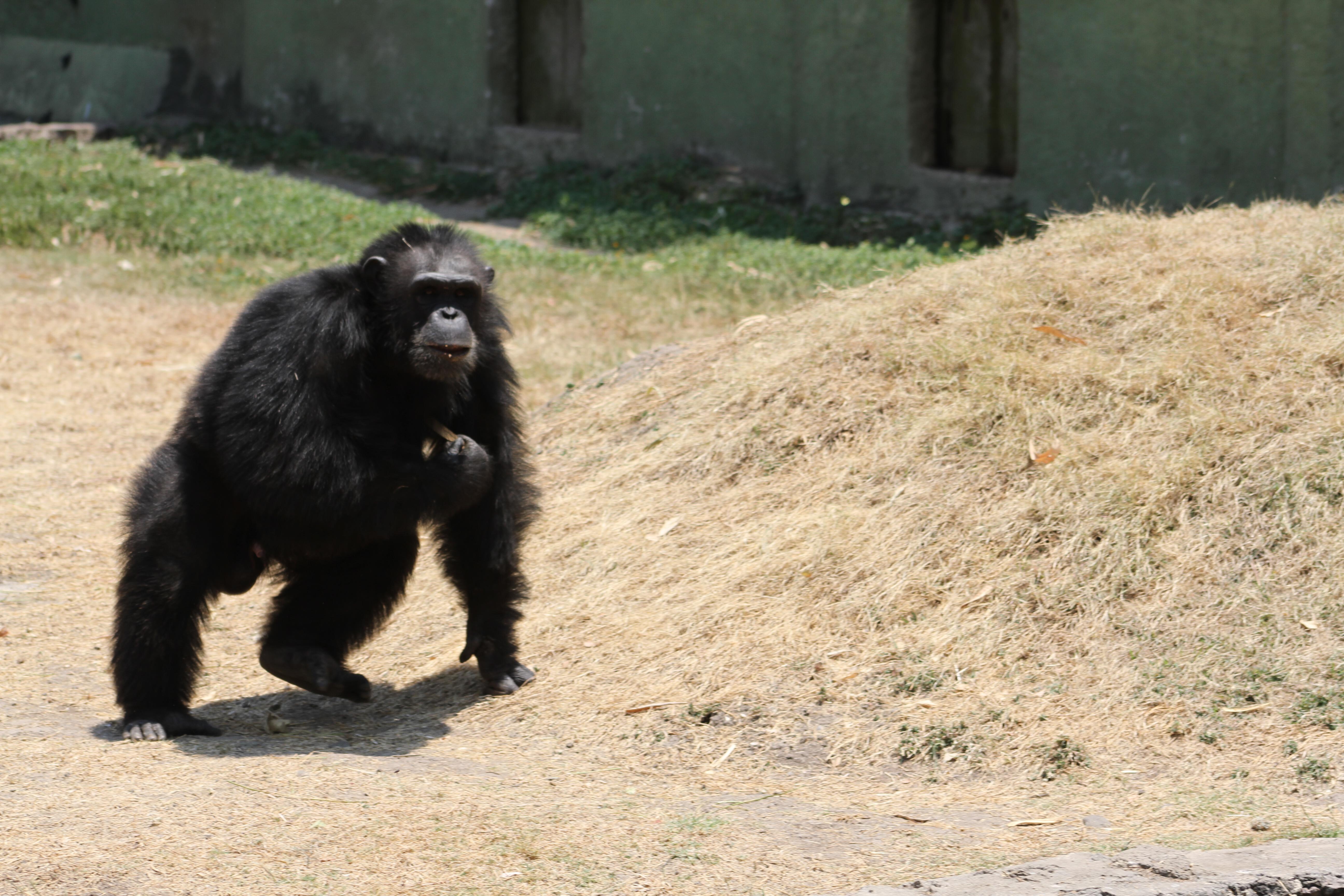 Un chimpancé en Zoofari